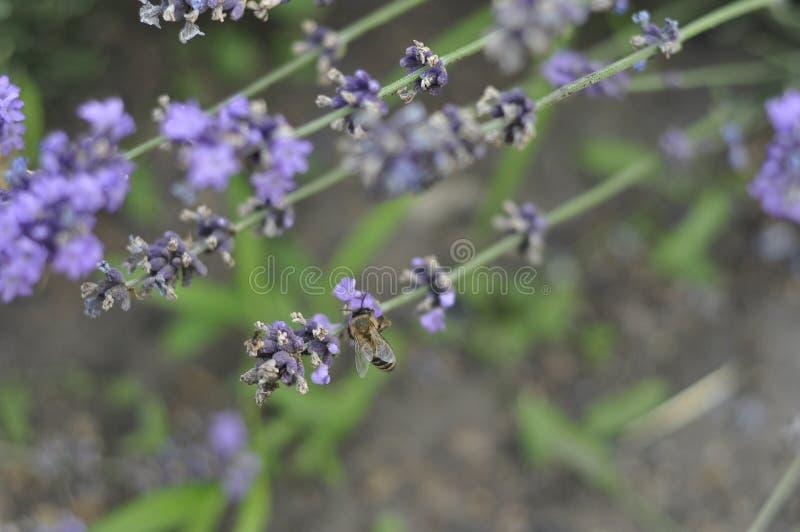 Bij die een lavendelbloem in een bed van de de zomerbloem voor honingsproductie bestuiven royalty-vrije stock afbeelding