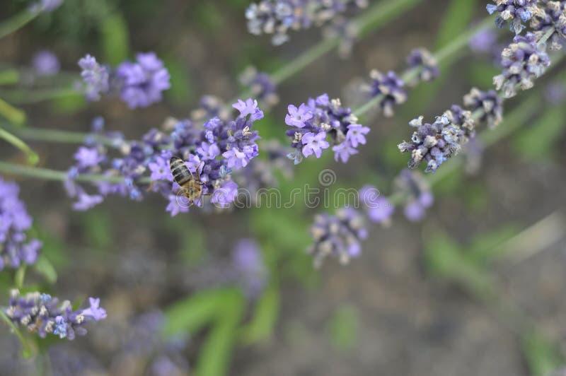 Bij die een lavendelbloem in een bed van de de zomerbloem voor honingsproductie bestuiven royalty-vrije stock afbeeldingen