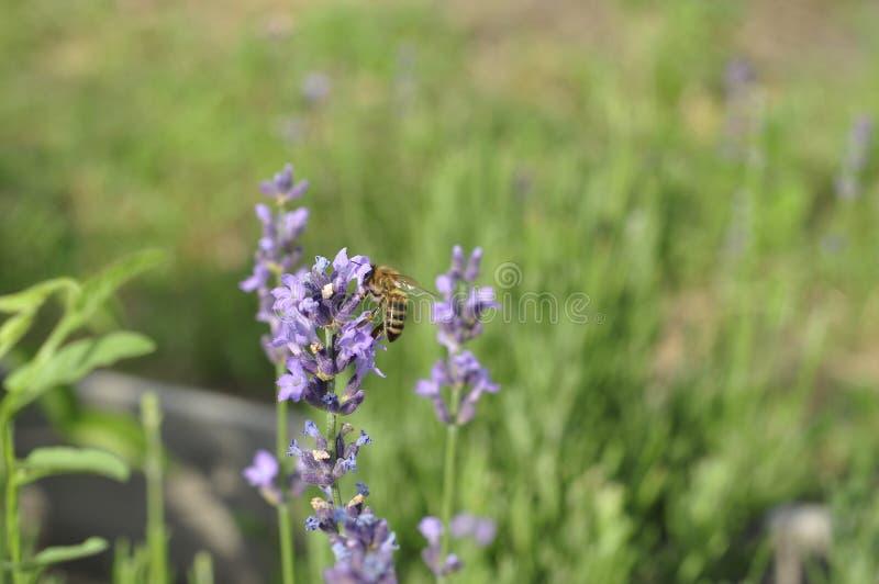 Bij die een lavendelbloem in een bed van de de zomerbloem voor honingsproductie bestuiven stock foto's