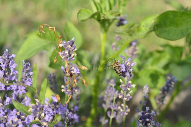 Bij die een lavendelbloem in een bed van de de zomerbloem voor honingsproductie bestuiven stock afbeelding