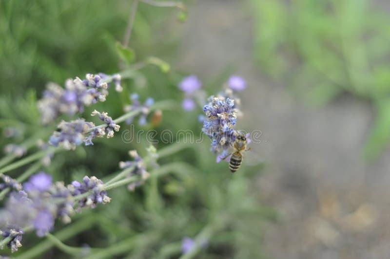 Bij die een lavendelbloem in een bed van de de zomerbloem voor honingsproductie bestuiven royalty-vrije stock foto's
