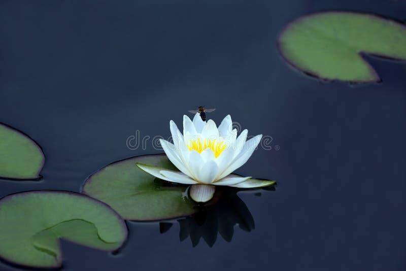 Bij die een witte bloem van lotusbloem op het water bestuiven royalty-vrije stock afbeeldingen