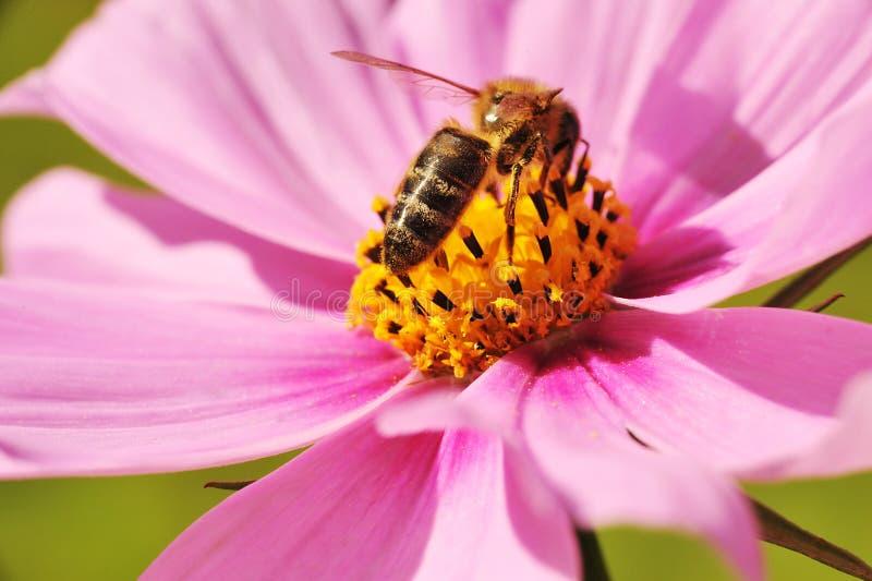Bij die honing krijgt royalty-vrije stock foto