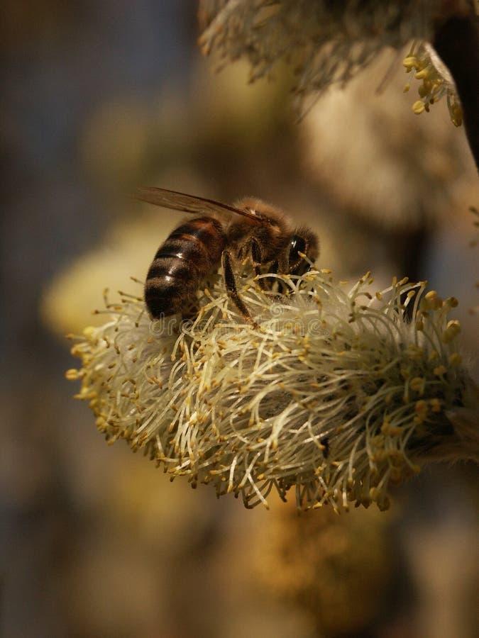 Bij die honing op geitwilg verzamelen stock fotografie