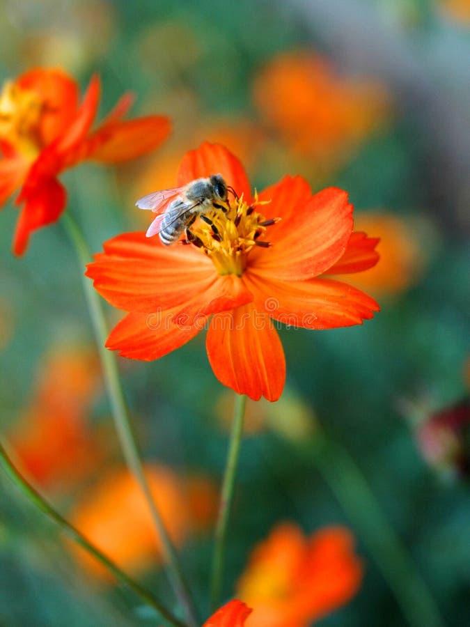 Bij die oranje bloem bestuift stock afbeeldingen