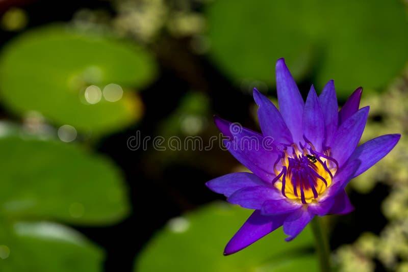 Bij die purpere lotusbloembloem bestuiven royalty-vrije stock foto's
