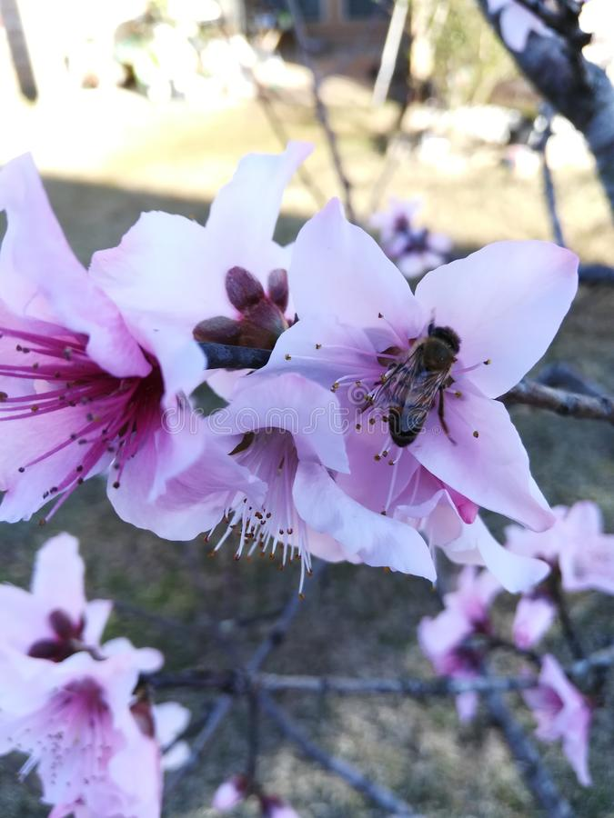 Bij die roze bloem bezoeken royalty-vrije stock foto