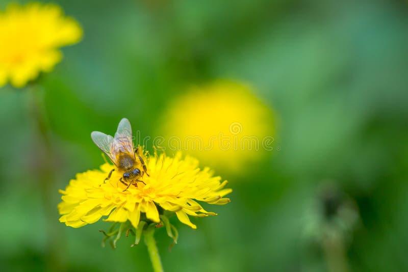 Bij die stuifmeel op heldere gele paardebloembloem verzamelen Taraxacum tot bloei komende bloem stock fotografie
