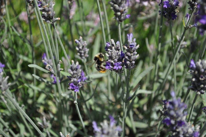 Bij die stuifmeel van purpere lavendelbloemen verzamelen royalty-vrije stock foto