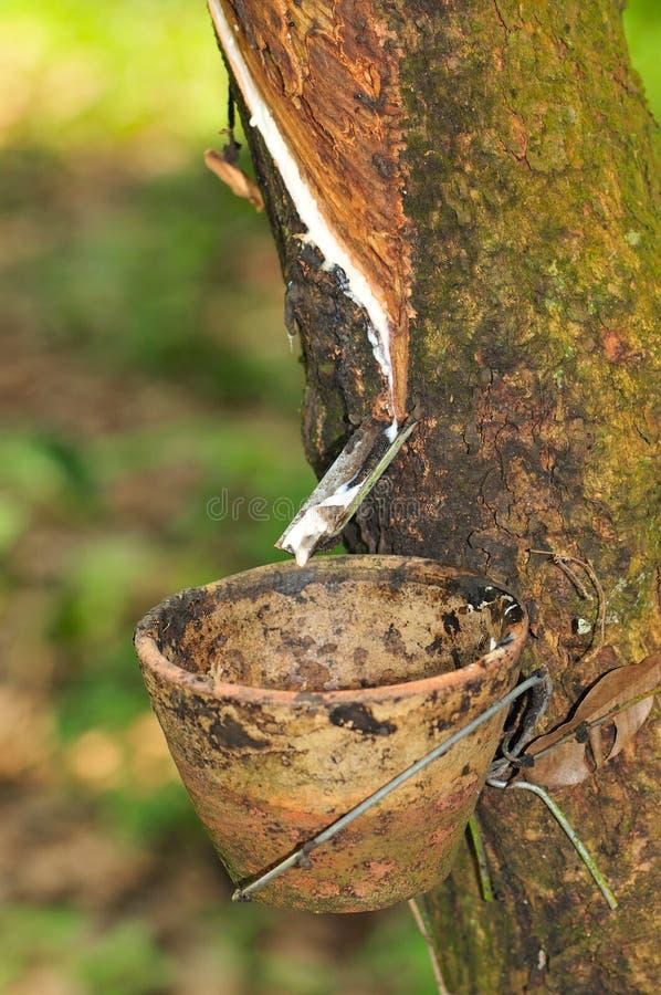 Bij een rubberaanplantingsreeks   royalty-vrije stock afbeelding