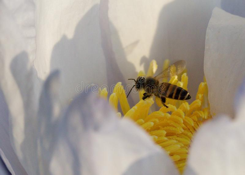 Bij en Stuifmeel in Waterlily of Lotus Flower stock foto