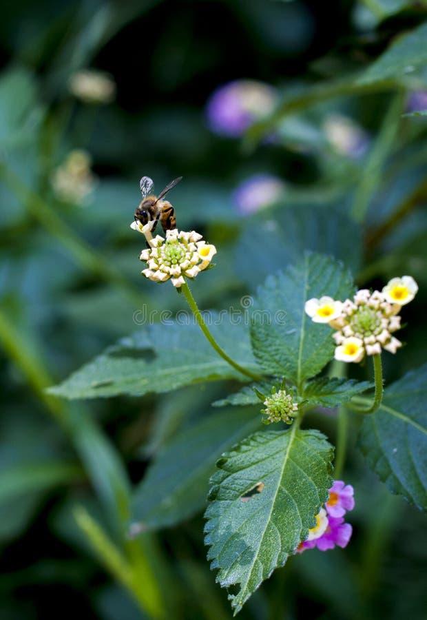 Bij en wildflower royalty-vrije stock fotografie