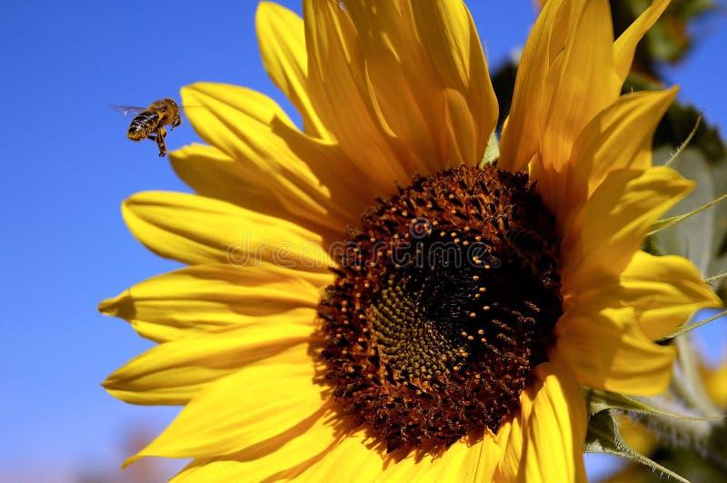 Bij en zonnebloem stock afbeelding