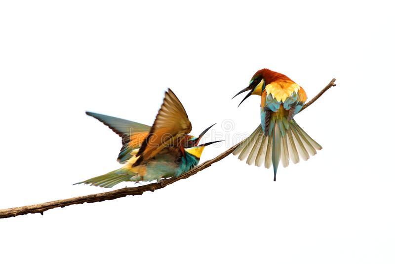 Bij-eter, Merops apiaster royalty-vrije stock foto's