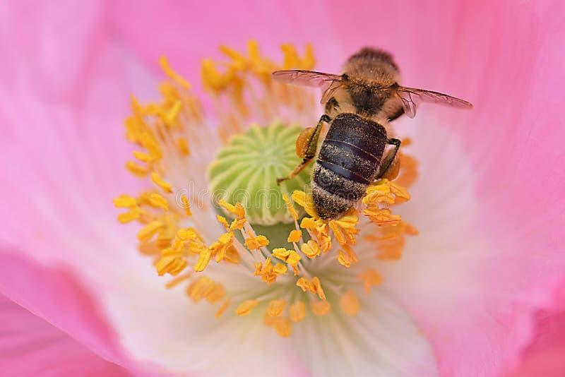 Bij in Gele Poppy Anthers 02 stock afbeeldingen