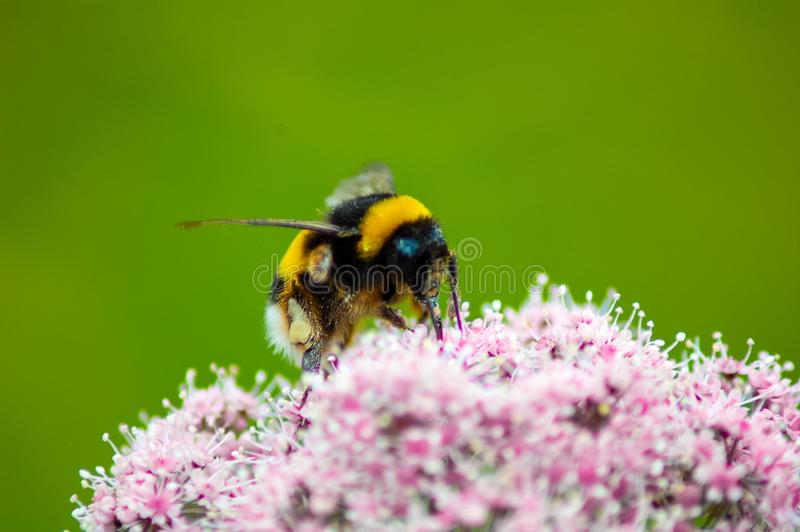 Bij het bestuiven bloemen in de lentetijd royalty-vrije stock foto