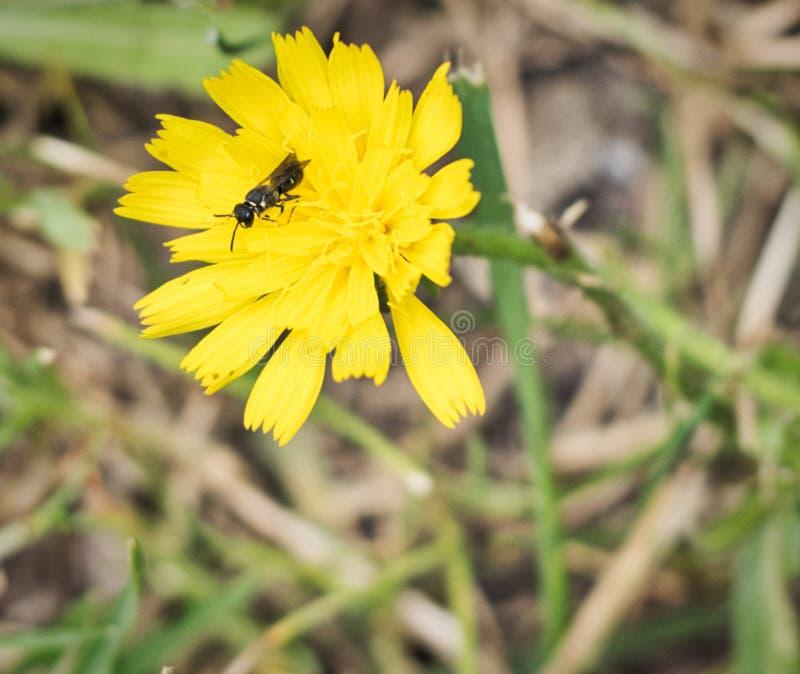 Bij het bestuiven in een gele bloem - sluit omhoog macro stock foto
