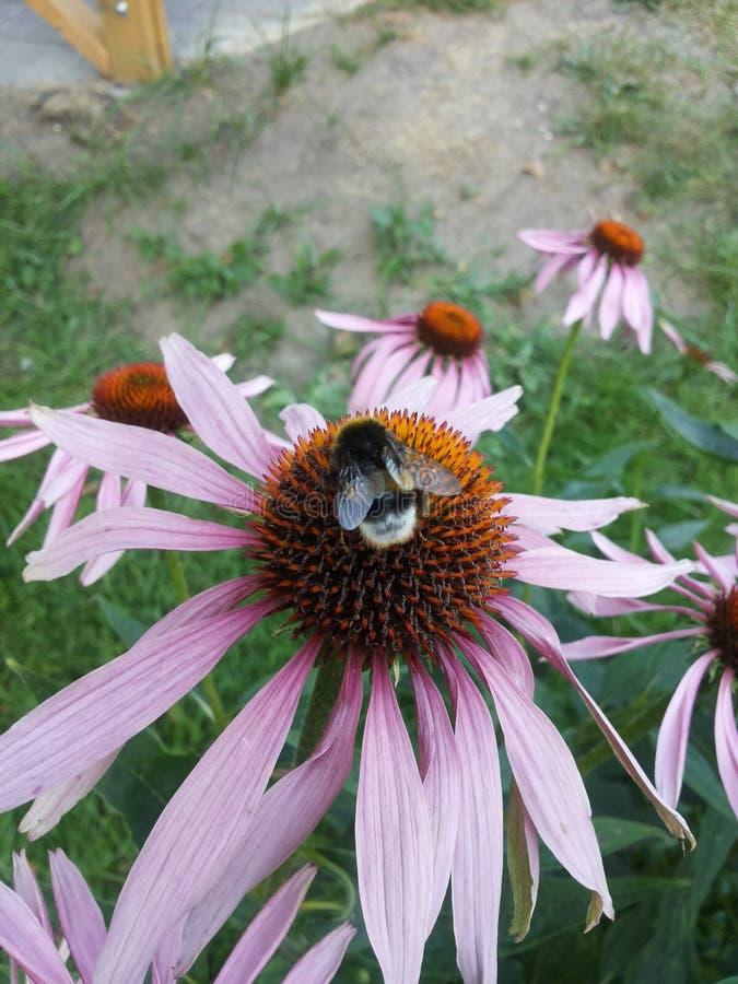 Bij het plukken honing van de bloem stock afbeeldingen