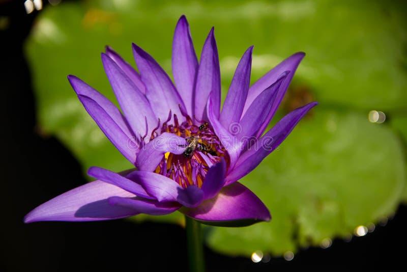 Bij in lotusbloem in de tuin stock foto's