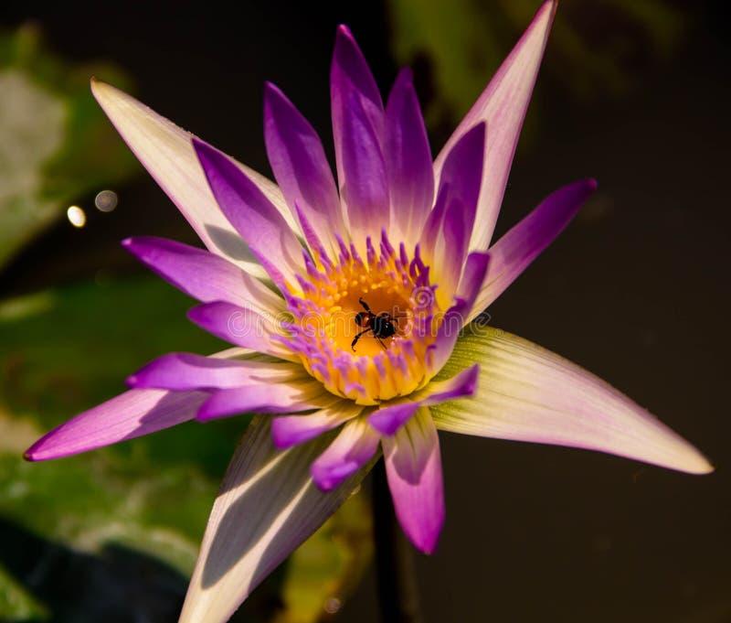 Bij in lotusbloem in de tuin stock afbeelding