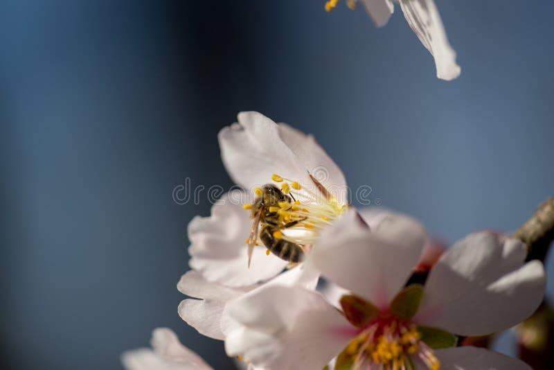 Bij op achtergrond van de de bloemen de macrolentetijd van de amandel royalty-vrije stock fotografie