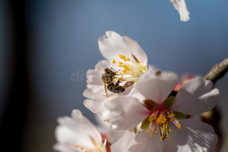 Bij op achtergrond van de de bloemen de macrolentetijd van de amandel stock foto's