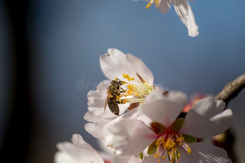 Bij op achtergrond van de de bloemen de macrolentetijd van de amandel royalty-vrije stock foto's