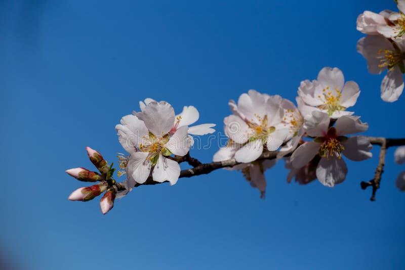 Bij op achtergrond van de de bloemen de macrolentetijd van de amandel royalty-vrije stock foto
