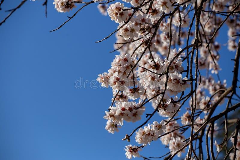 Bij op achtergrond van de de bloemen de macrolentetijd van de amandel stock fotografie