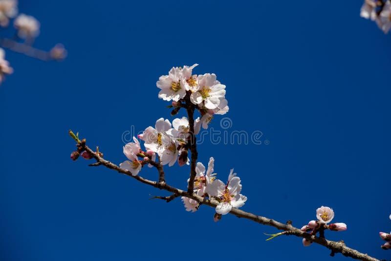 Bij op achtergrond van de de bloemen de macrolentetijd van de amandel royalty-vrije stock afbeeldingen
