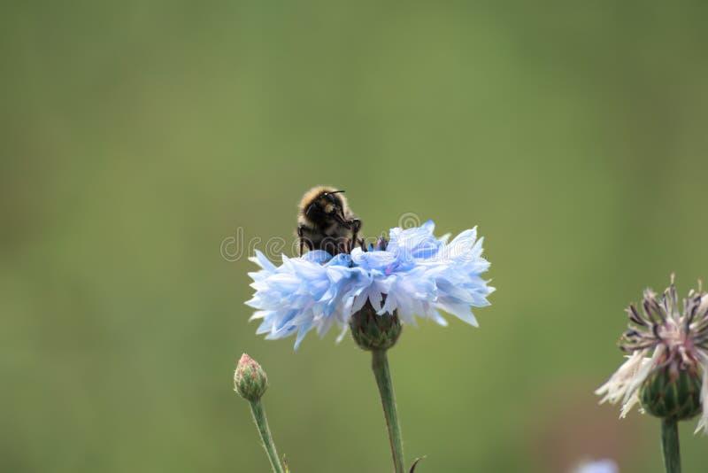 Bij op blauwe bloem royalty-vrije stock fotografie