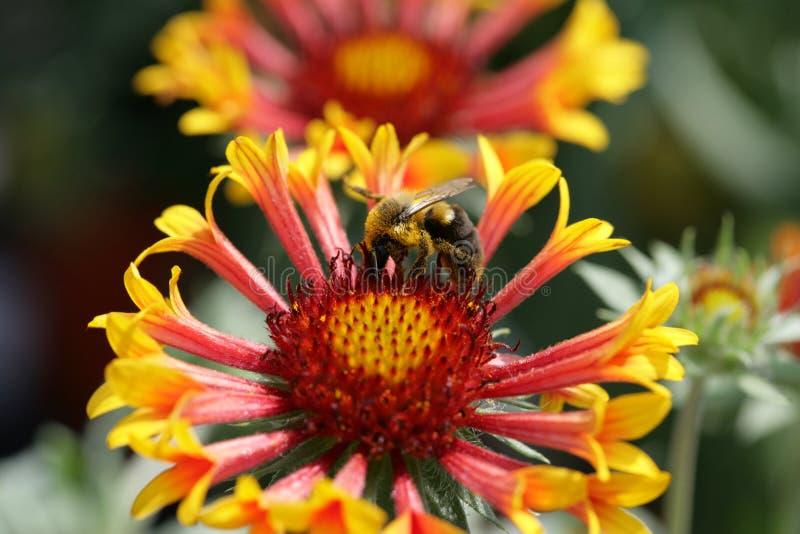 Bij op bloem 1 royalty-vrije stock foto's