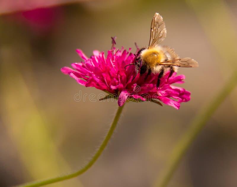 Bij op bloem stock afbeelding