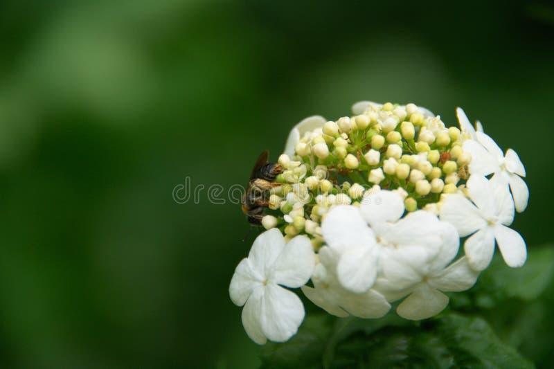 Bij op bloemen stock foto