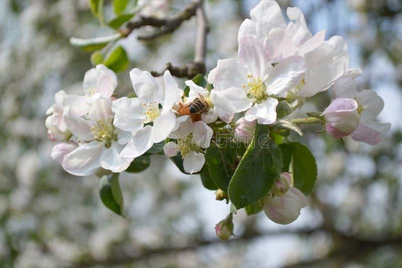 Bij op bloemen van appel stock afbeelding