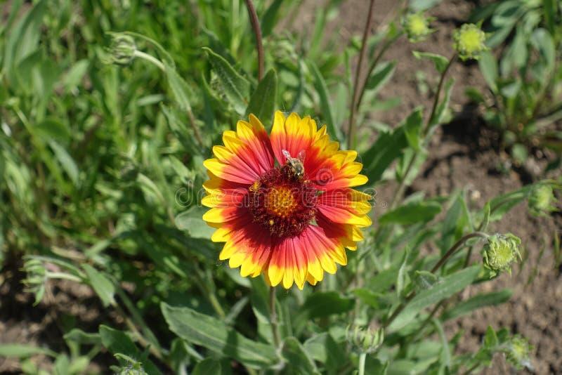 Bij op bloemhoofd van Gaillardia stock foto's