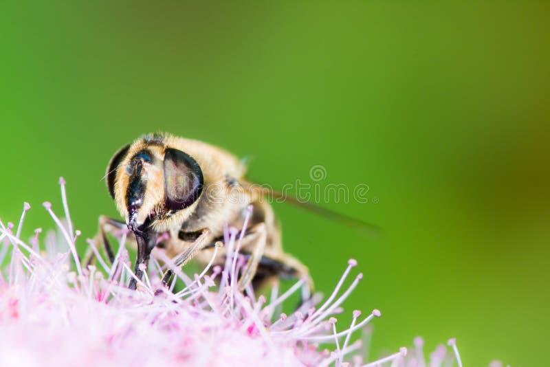 Bij op de bloem van spiraeajaponica stock afbeelding