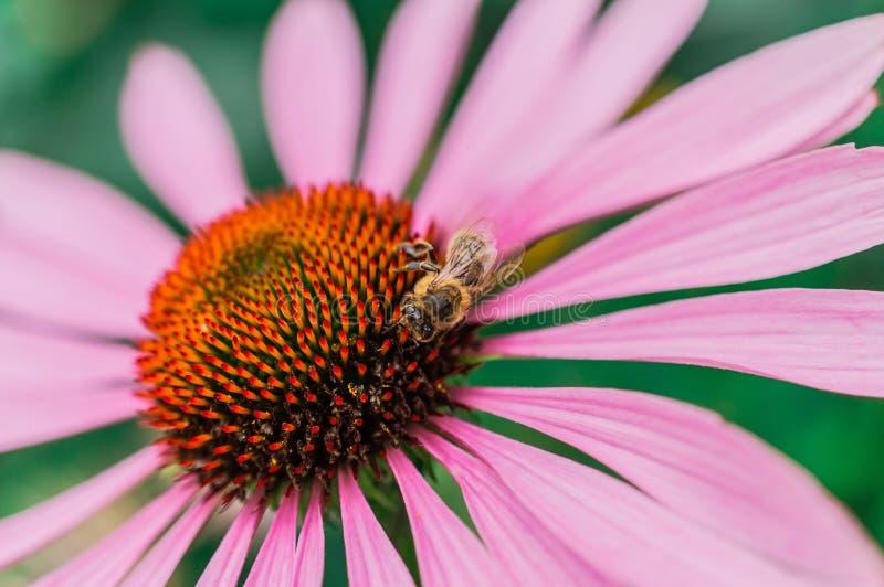 Bij op de echinaceabloem in de zomer stock fotografie