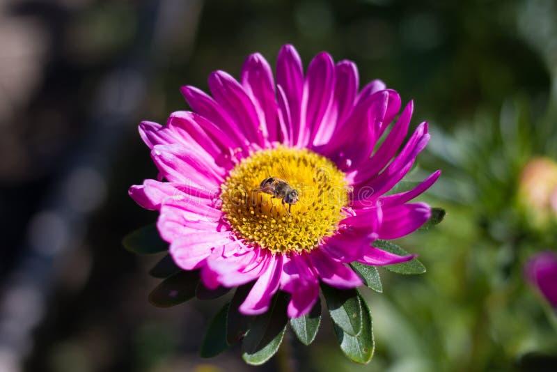 Bij op de roze bloem stock foto