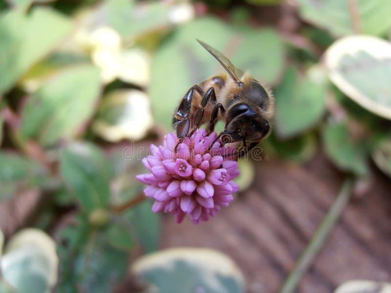 Bij op een bloem stock foto