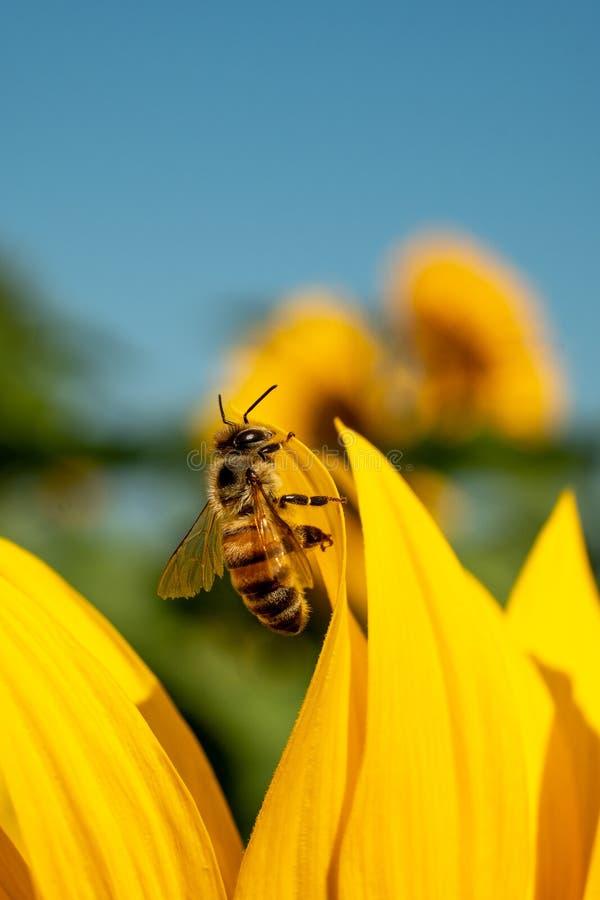 Bij op een buigend zonnebloembloemblaadje royalty-vrije stock foto