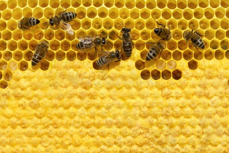 Bij op een cel met larven Bijenkroost Copyspace Concept imkerij stock fotografie