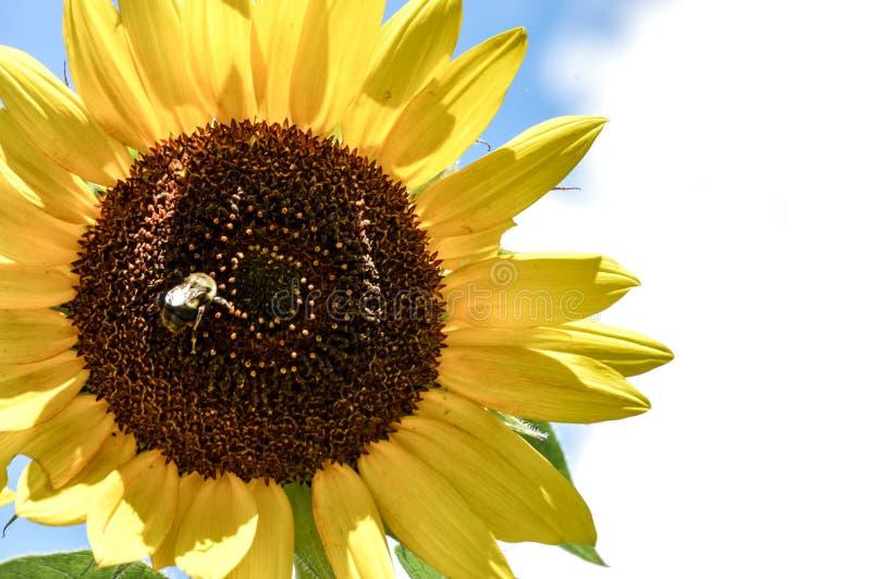 Bij op een heldere zonnebloem royalty-vrije stock afbeelding