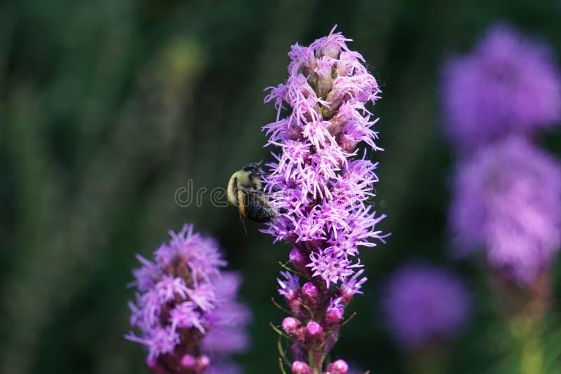 Bij op een lavendelbloem royalty-vrije stock afbeelding
