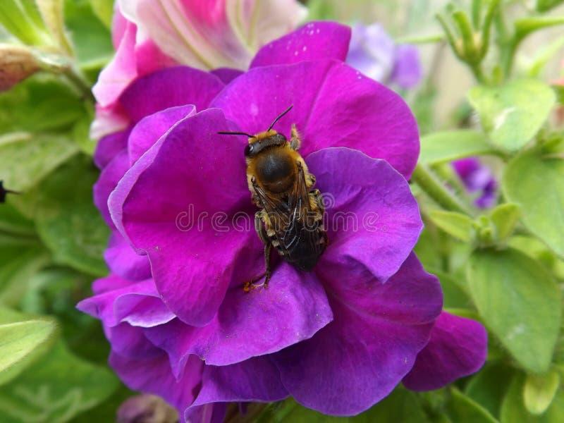 Bij op een Petuniabloem stock foto
