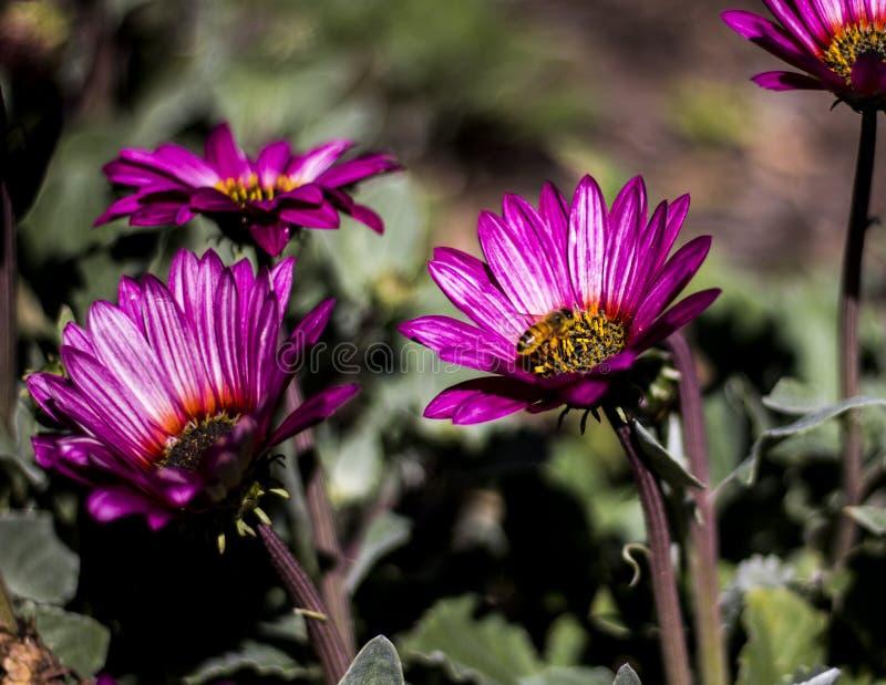 Bij op een purpere bloem in de Koninklijke Botanische Tuinen stock afbeelding
