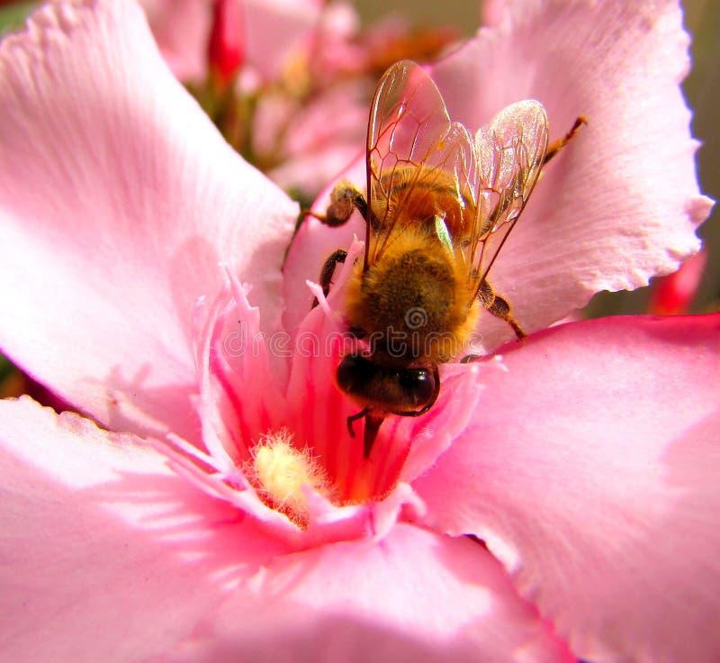 Bij op een roze bloem royalty-vrije stock afbeelding