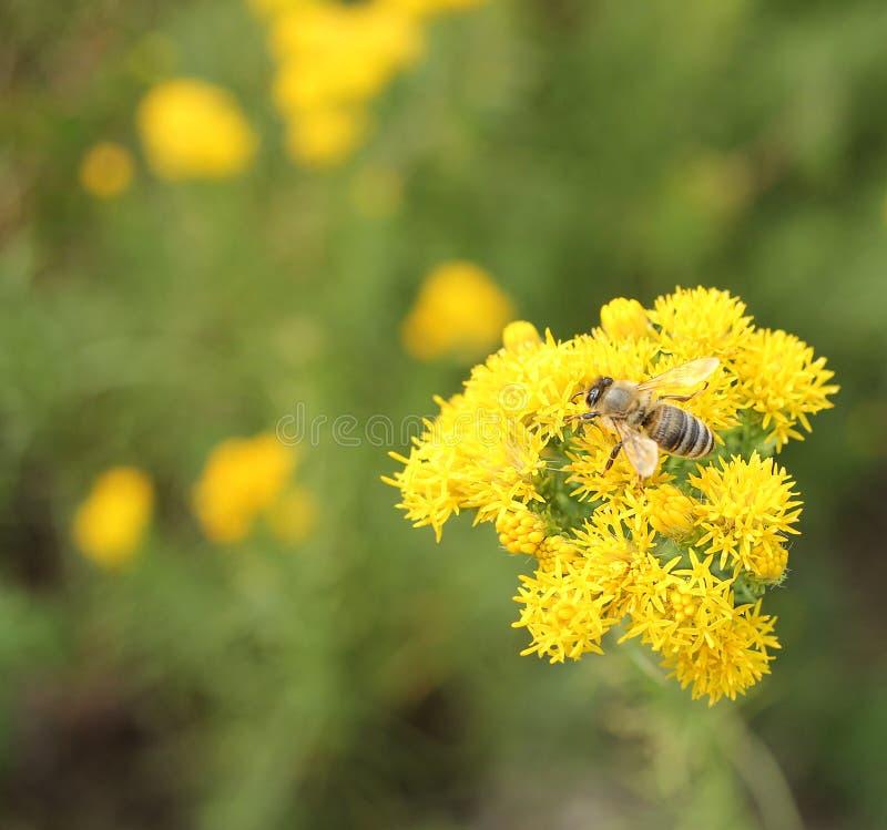 Bij op gele bloem royalty-vrije stock afbeelding