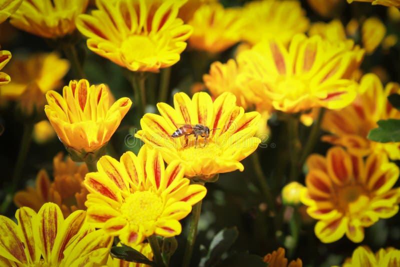 Bij op gele chrysant royalty-vrije stock foto's