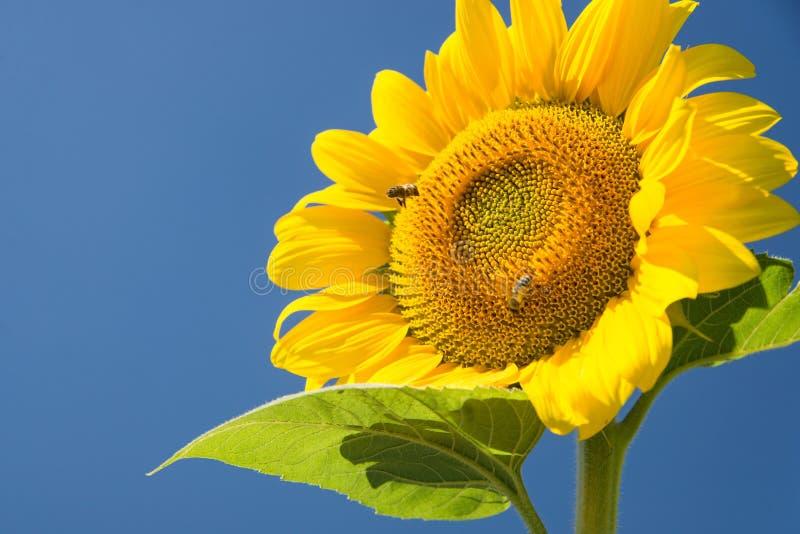 Bij op helder aangestoken zonnebloem stock afbeeldingen